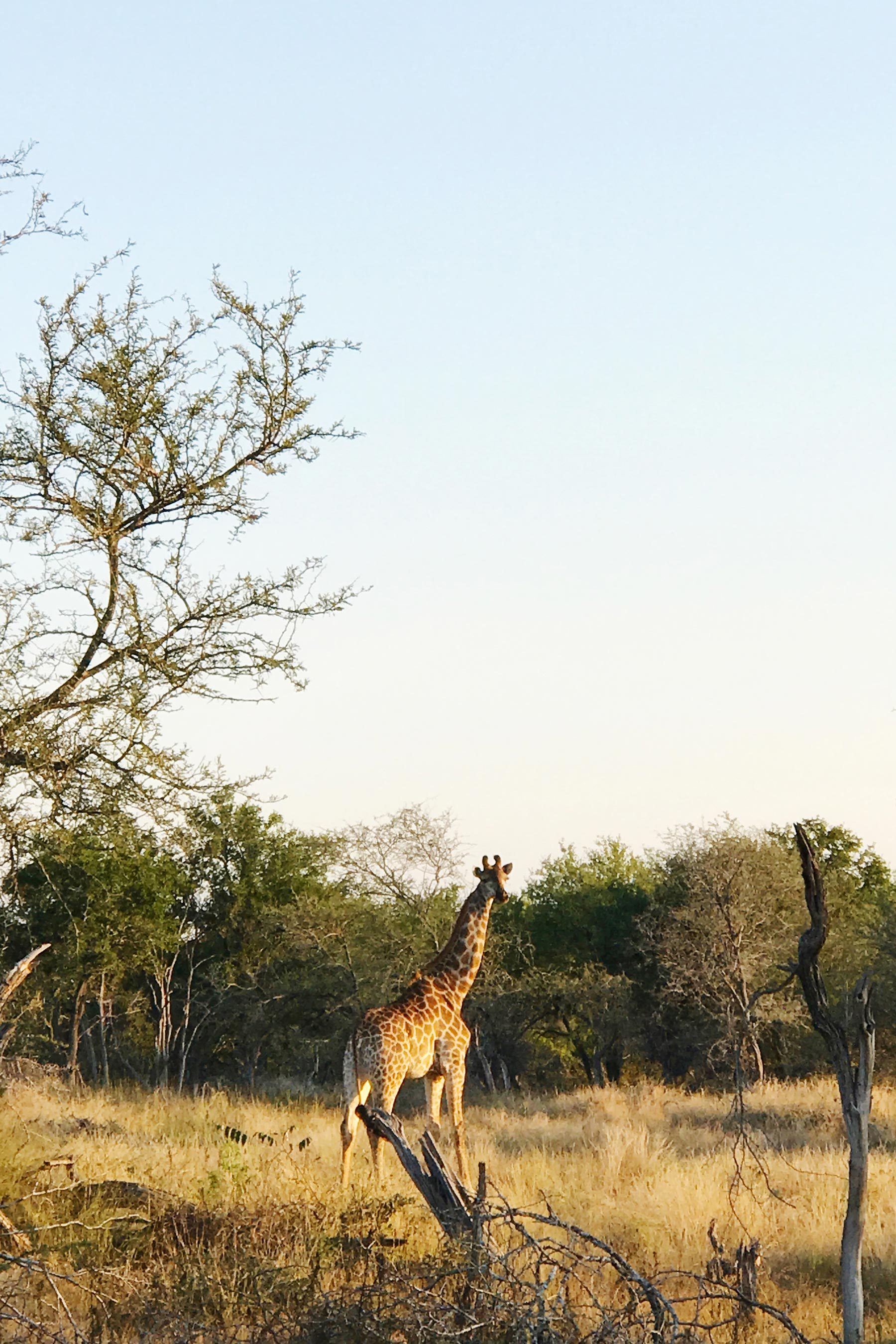 Beautiful giraffe. The 2 days that we spent in Kruger National Park as a part of our 10 days in South Africa were seriously the best! #travel #southafrica #krugernationalpark #safari #big5